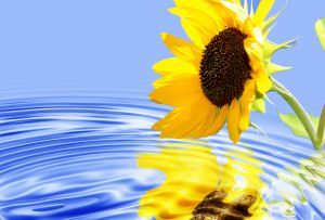 1136140_sunflower.jpg